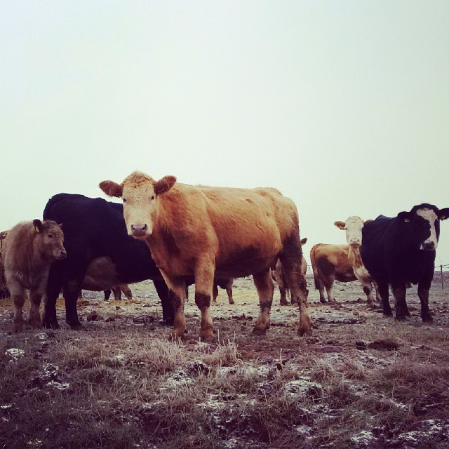 Fotka od Ferdika. #Angus & #Charolais. Great #agrotour and #steak in #ukotyku farm. 2/366