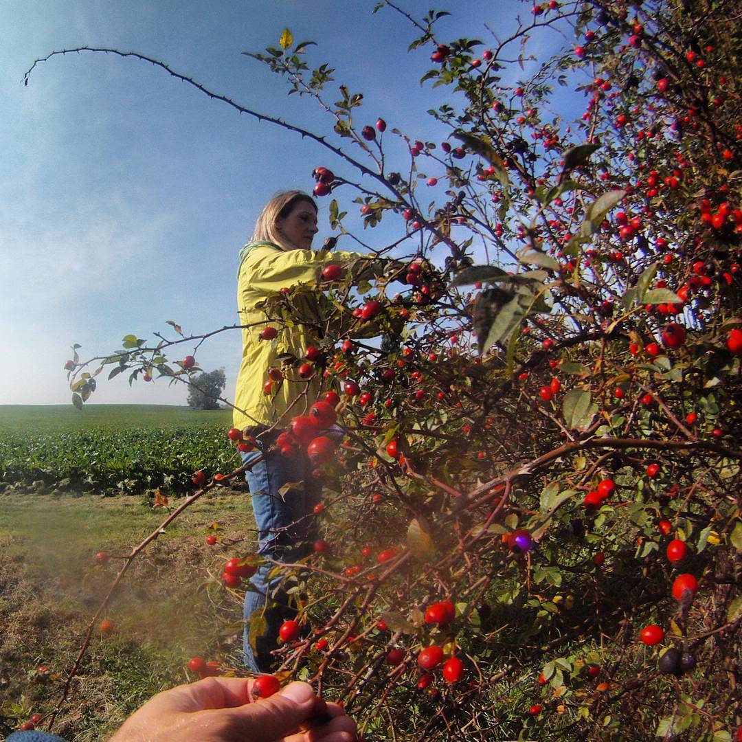Fotka od Ferdika. 272/366: It is #season of #rosehips, we definitely use it during the #autumn and #winter. #countryside, #walk, #boleslav, #svvaclav, #holiday, #recovery, #gopro, #goprohero, #bestofftheday, #topoftheday, #photooftheday, #picoftheday, #harvest